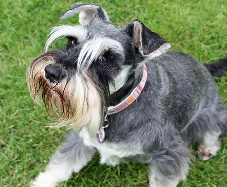 Ellie the Miniature Schnauzer Pictures 693151
