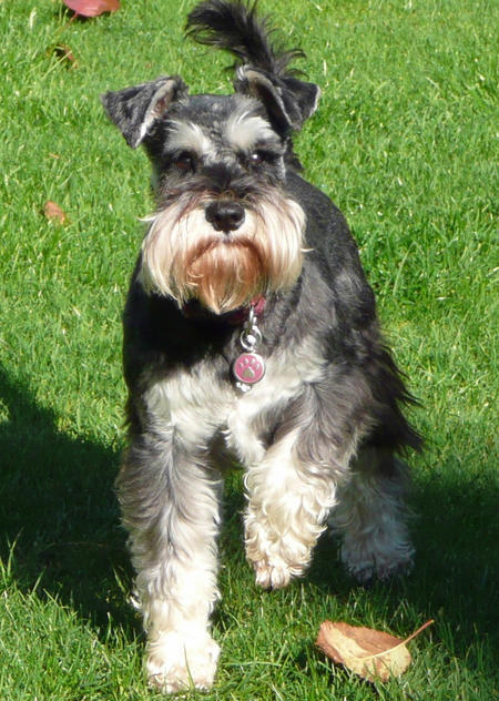 Ellie the Miniature Schnauzer Pictures 693156