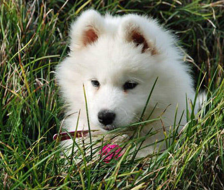 Ellie the Samoyed Pictures 800885