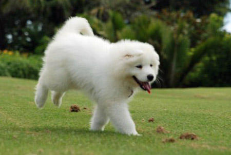 Ellie the Samoyed Pictures 800886