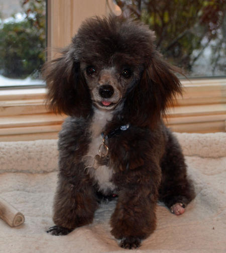 Elliott the Toy Poodle Pictures 1019201