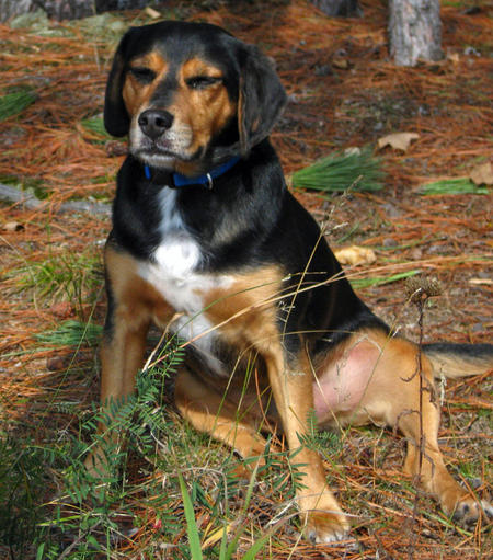 Elvis the Beagle Mix Pictures 576700