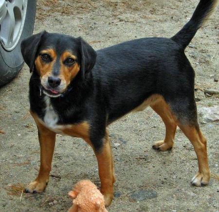 Elvis the Beagle Mix Pictures 576701