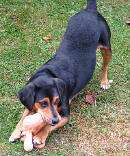 Elvis the Beagle Mix Pictures 576702