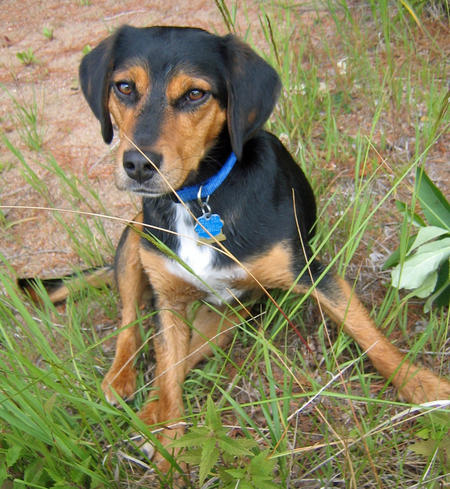 Elvis the Beagle Mix Pictures 576703