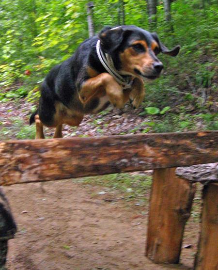 Elvis the Beagle Mix Pictures 576699