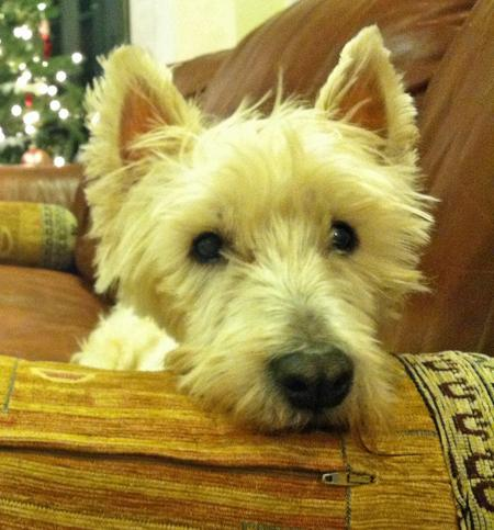 Elvis the West Highland Terrier Pictures 932570