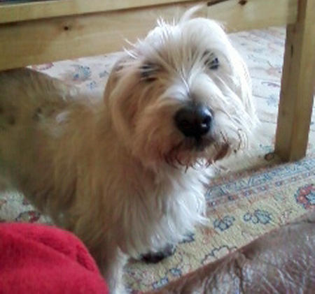 Elvis the West Highland Terrier Pictures 932572