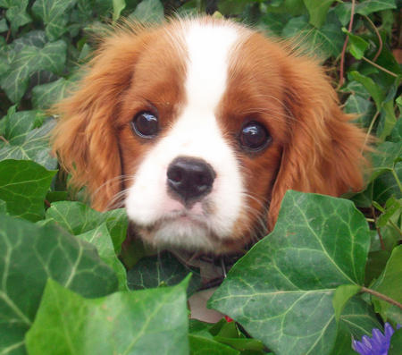 Emma the Cavalier King Charles Spaniel Pictures 1031523