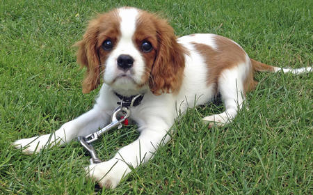 Emma the Cavalier King Charles Spaniel Pictures 1031526