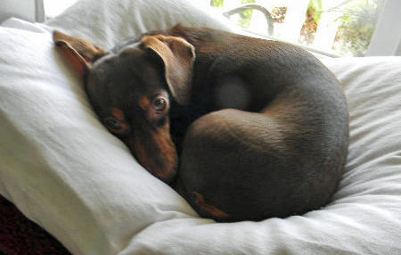 Emma the Dachshund Pictures 1030463