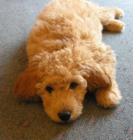 Emma the Goldendoodle Pictures 500206
