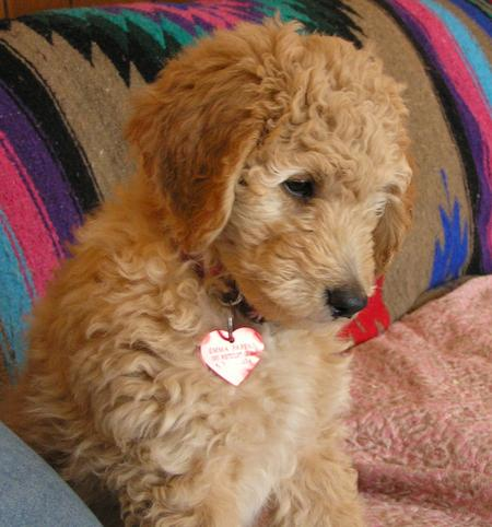 Emma the Goldendoodle Pictures 500207