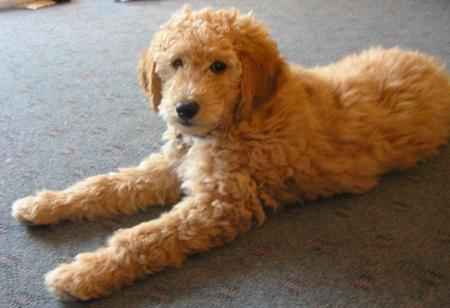 Emma the Goldendoodle Pictures 500209