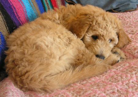 Emma the Goldendoodle Pictures 500210