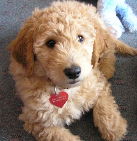 Emma the Goldendoodle Pictures 500204