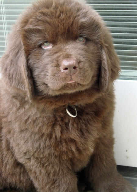 Emma the Newfoundland Pictures 656334