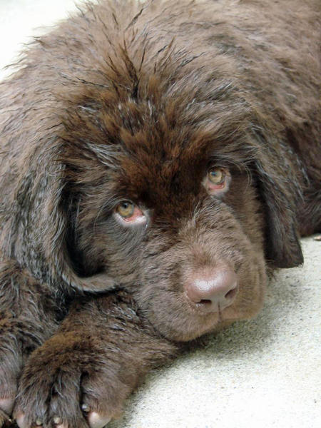 Emma the Newfoundland Pictures 656335
