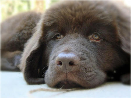 Emma the Newfoundland Pictures 656338