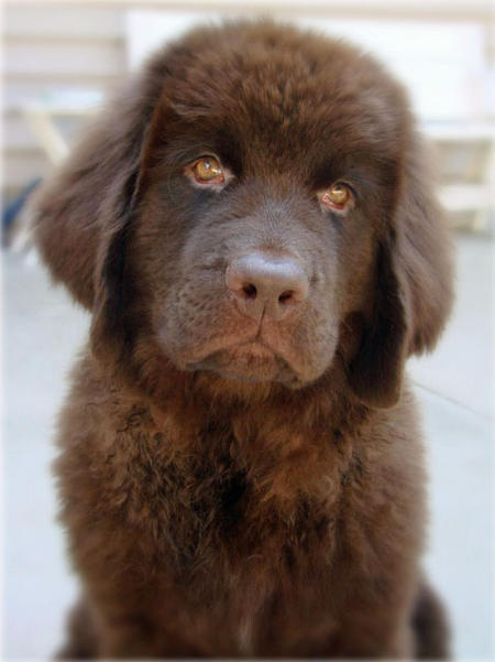 Emma the Newfoundland Pictures 656339