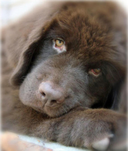 Emma the Newfoundland Pictures 656340