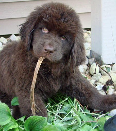 Emma the Newfoundland Pictures 656342