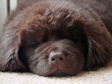 Emma the Newfoundland Pictures 656333