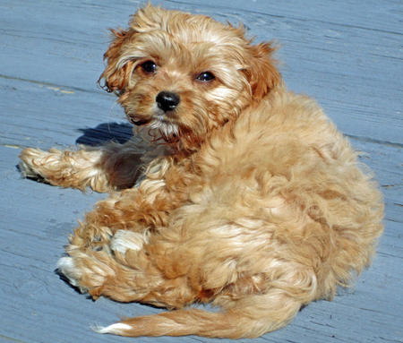 Emma the Poodle Mix Pictures 665734