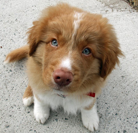 Emmet The Nova Scotia Duck Tolling Retriever Puppies