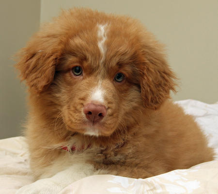 Emmet the Nova Scotia Duck Tolling Retriever Pictures 788935