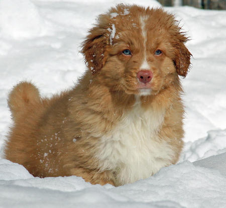 Emmet the Nova Scotia Duck Tolling Retriever Pictures 788933
