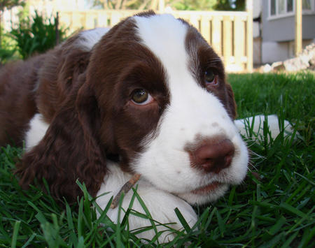 Emmett the English Springer Spaniel Pictures 418332