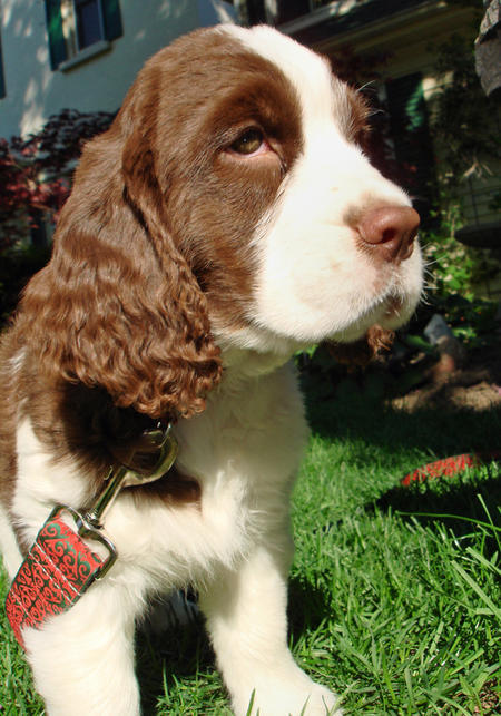 Emmett the English Springer Spaniel Pictures 418335