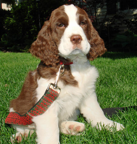 Emmett the English Springer Spaniel Pictures 418336