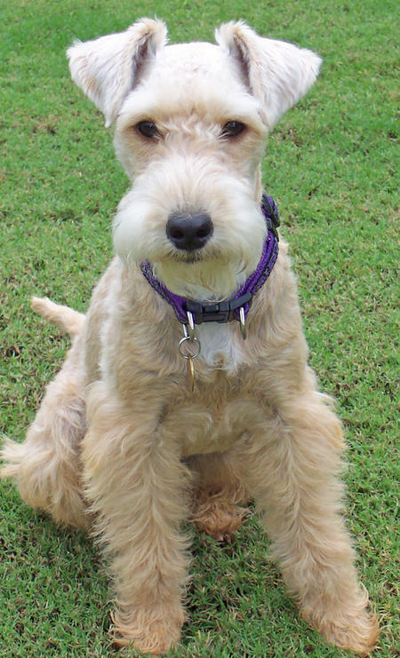 Emmy the Lakeland Terrier Pictures 929338