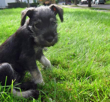 Emmy the Miniature Schnauzer Pictures 474058
