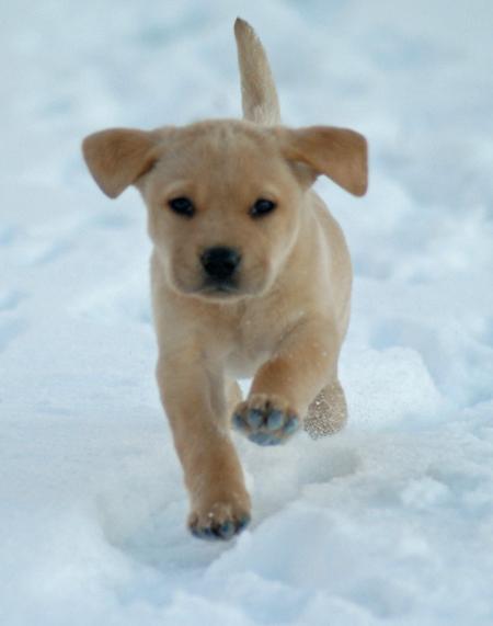 Eppie the Labrador Retriever Pictures 992706