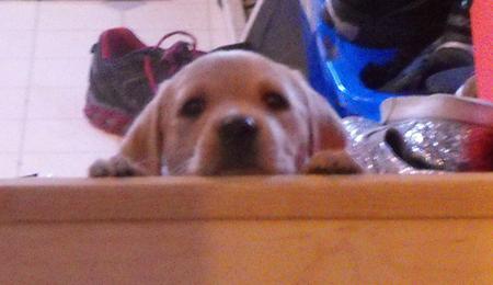 Eppie the Labrador Retriever Pictures 992708