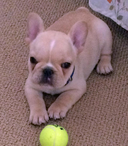 Ernie the French Bulldog Pictures 1053685