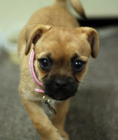 Eva the Pug Mix | Puppies | Daily Puppy