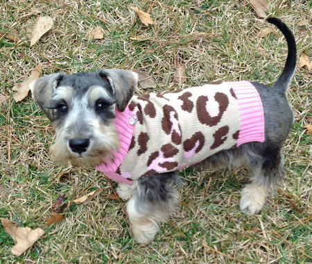 Eva the Schnauzer Mix Pictures 1015758