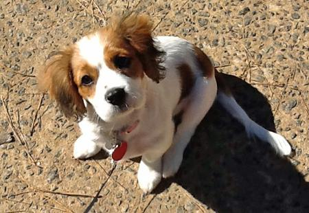 Eve the Cavalier King Charles Spaniel Pictures 943536