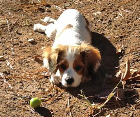 Eve the Cavalier King Charles Spaniel Pictures 943539