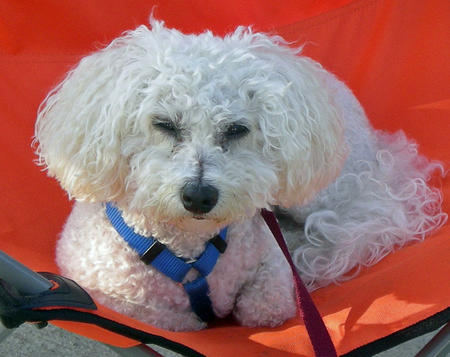 Evee the Bichon Frise Pictures 601583