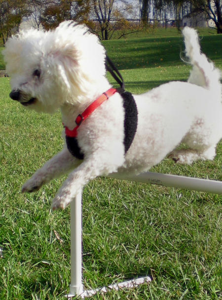 Evee the Bichon Frise Pictures 601585