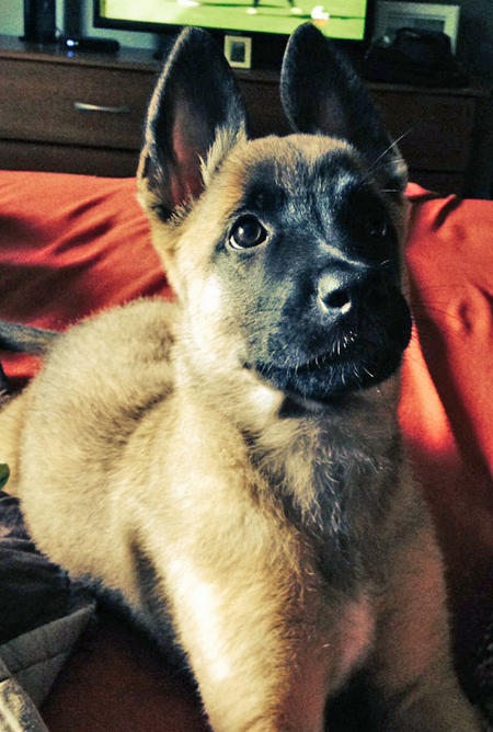 Evelyn the Belgian Malinois Mix Pictures 1016685
