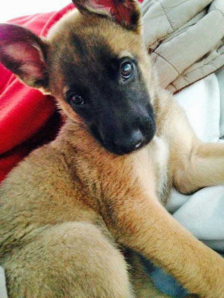 Evelyn the Belgian Malinois Mix Pictures 1016686