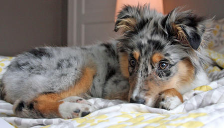 Everette the Australian Shepherd Pictures 873048