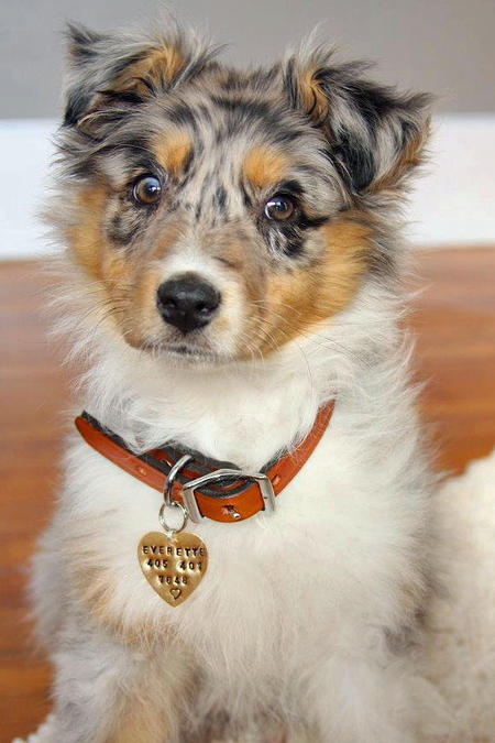 Everette the Australian Shepherd Pictures 873050
