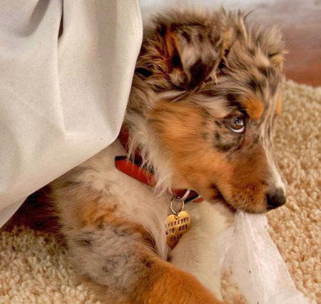 Everette the Australian Shepherd Pictures 873051